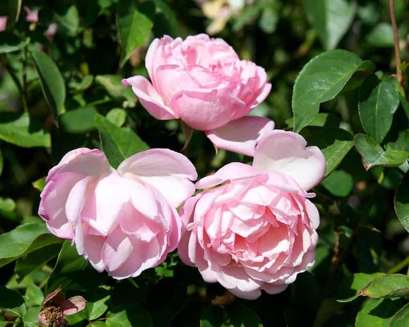 3 Duchesse de Brabant Roses
