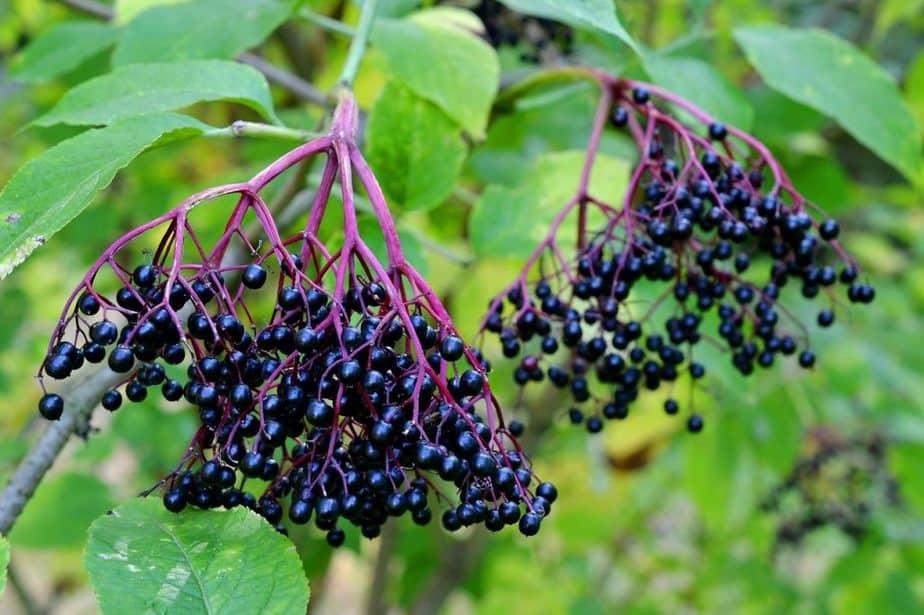 3 Elderberry Bush