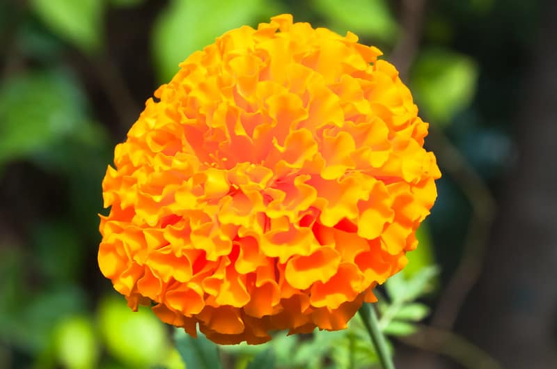 3 Pot Marigold