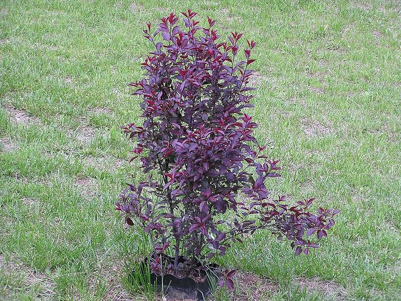 3 Purple Leaf Sand Cherry
