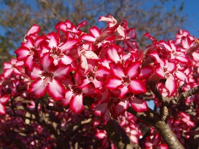 3 Single flowering pink blooming varieties are most common