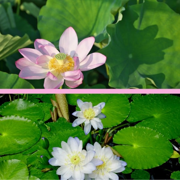 3. Physical comparison of Nelumbo and Nymphaea