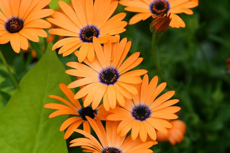 4 African Daisy