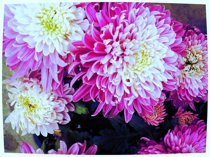 4 Chrysanthemums