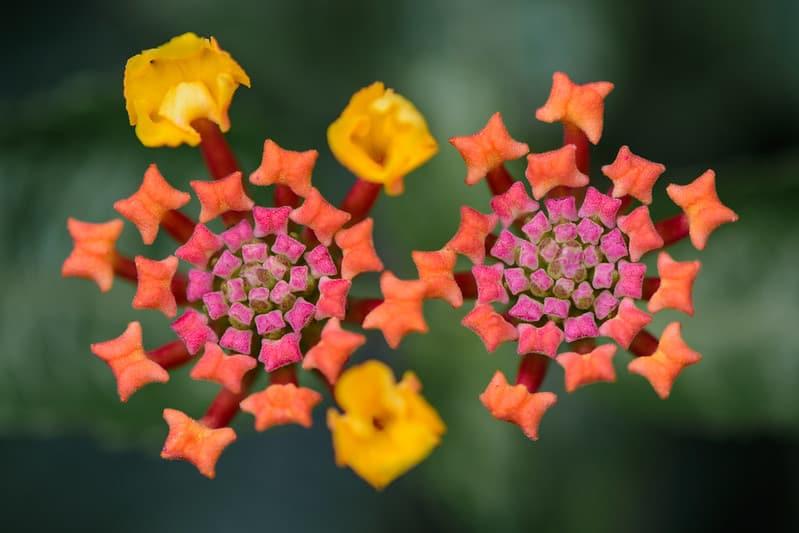 4 Lantana in Bloom