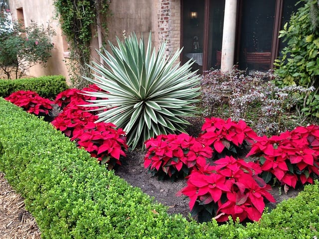 5 In warmer climates the plants can be placed outside during the summer months