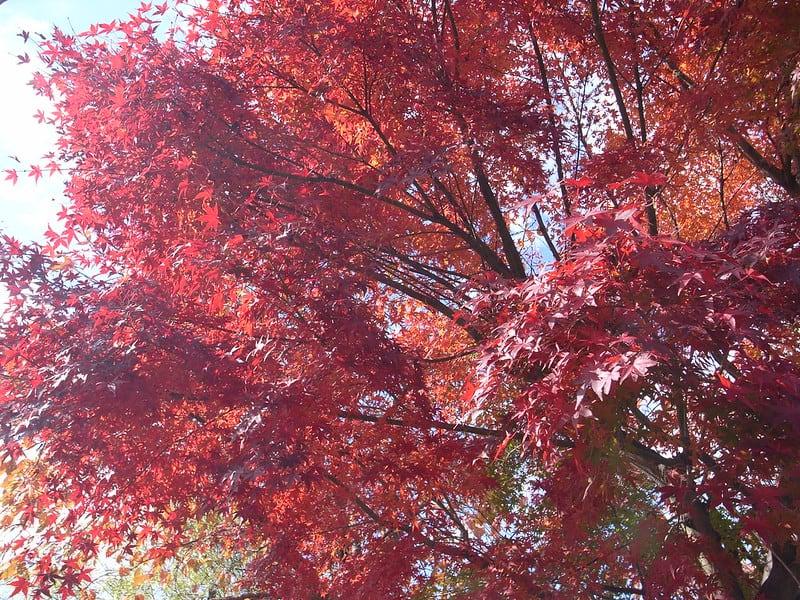 5 Japanese Maple