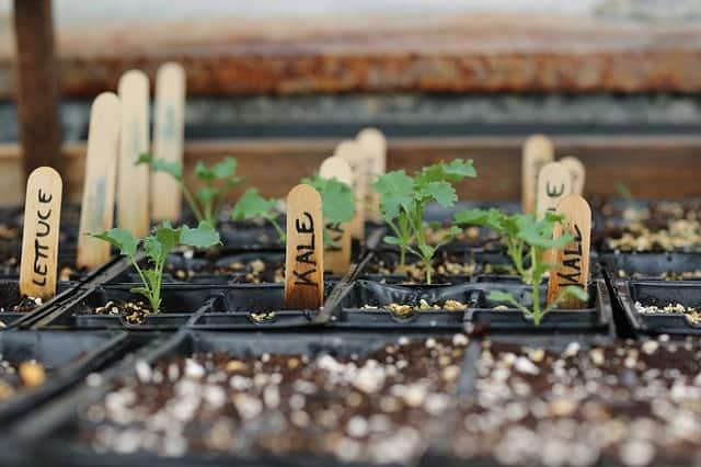5 Kale Seedlings