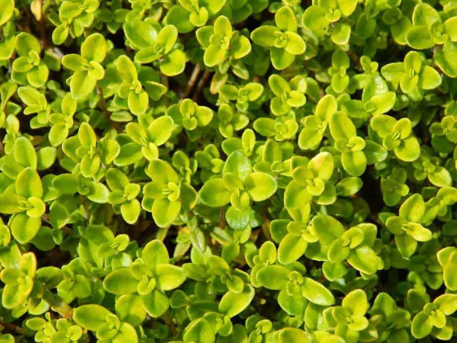 5 Lemon Lime Thyme