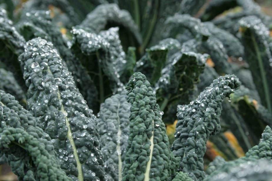 6 Lacinato Kale Plants