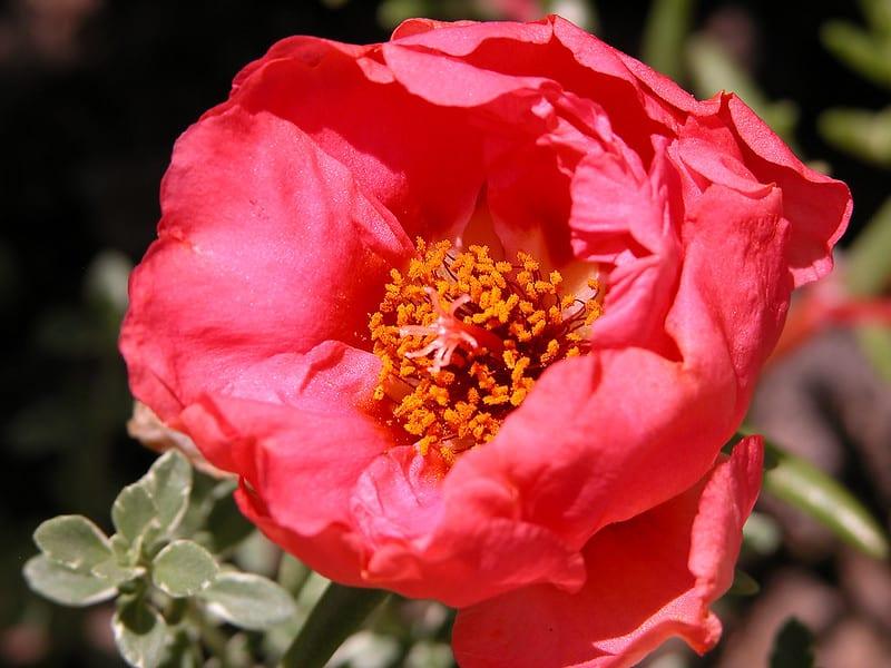 6 Portulaca Grandiflora