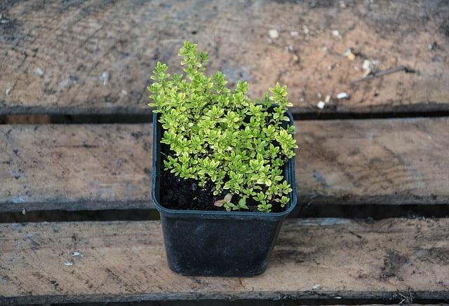 6 Thyme Seedling