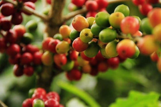 6 With careful care and patience your mature Coffea arabica tree will begin to produce beans