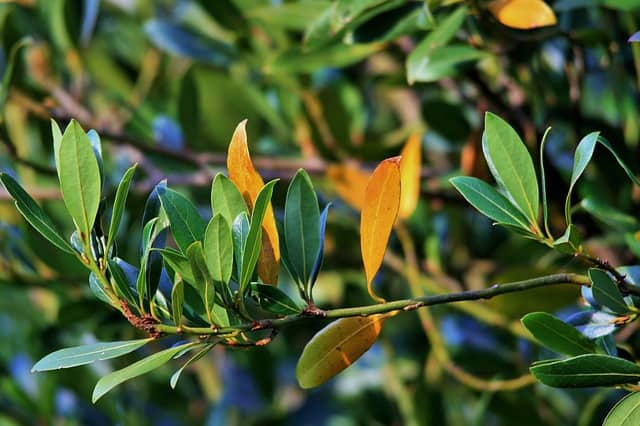 6 Yellowing foliage need not be a sign that your plant is struggling