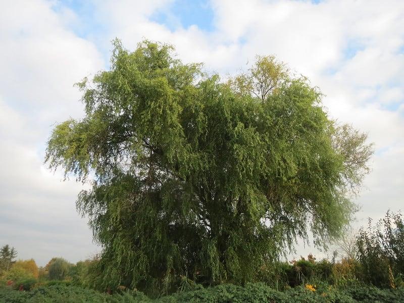 7 Golden Curls Willow