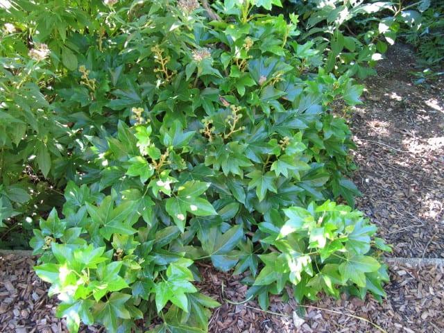 7 Irish Ivy