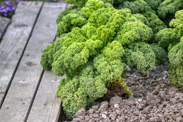 7 Kale Plant