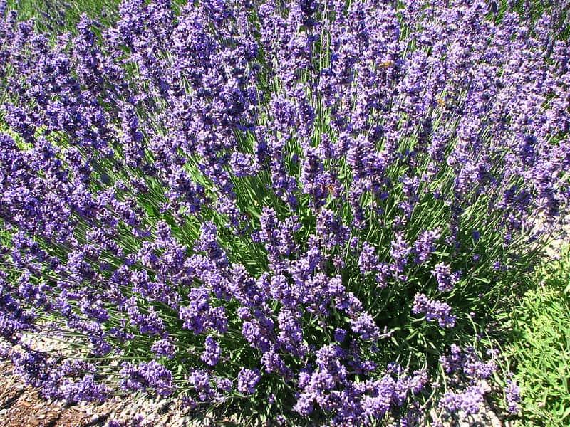 7 Lavender