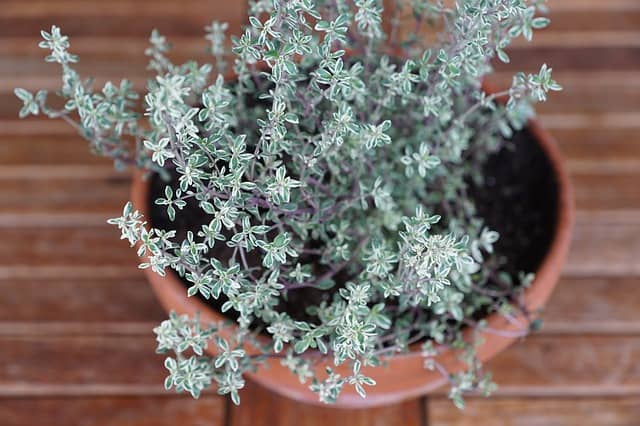 7 Potted Thyme