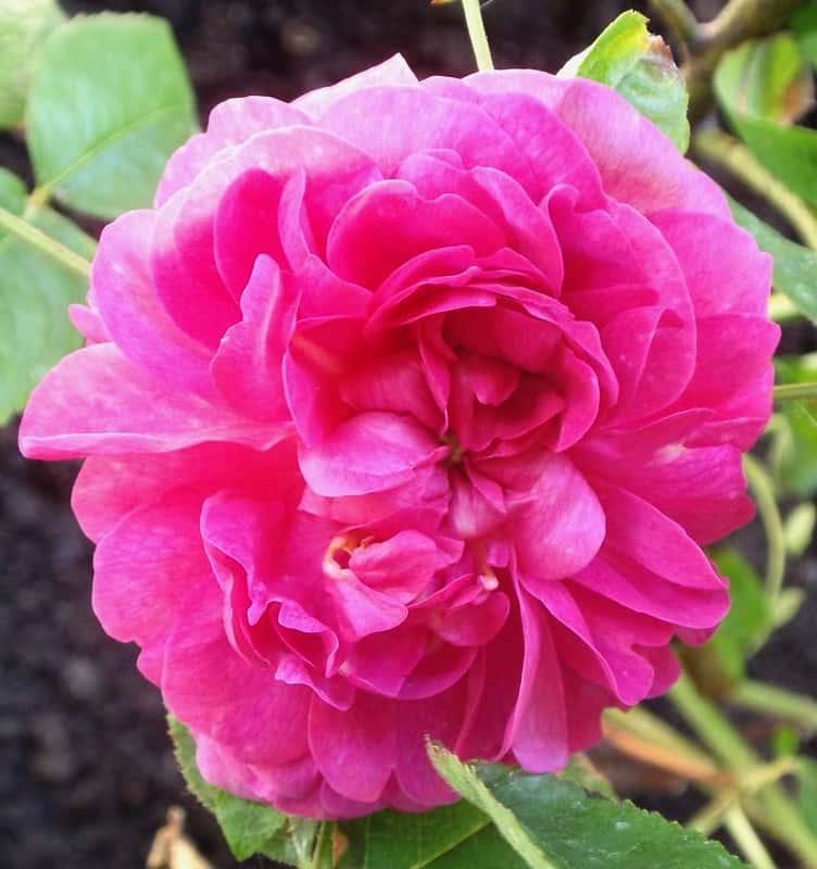 7 Rose du Roi