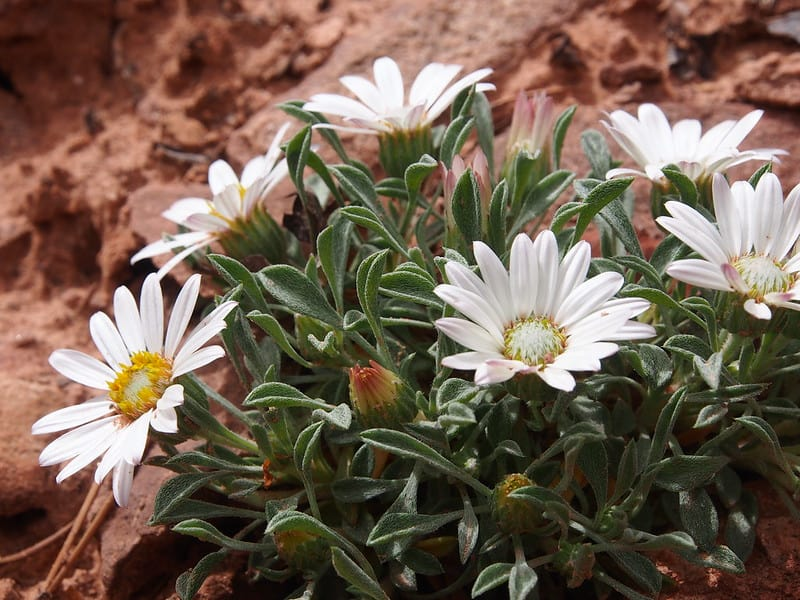 7 Silver Townsendia Daisy