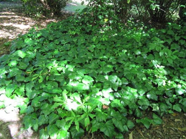 8 Canarian Ivy