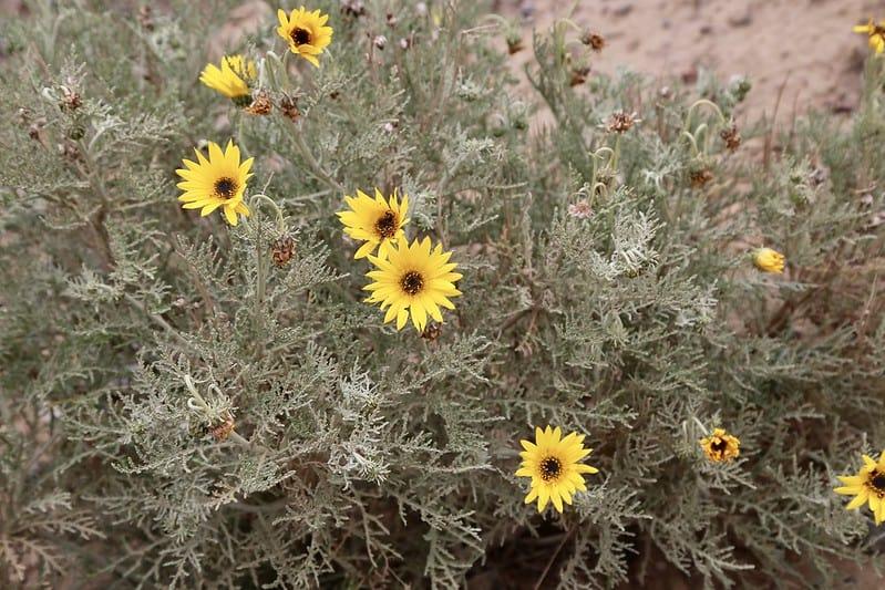 8 Curley Leaf Daisy