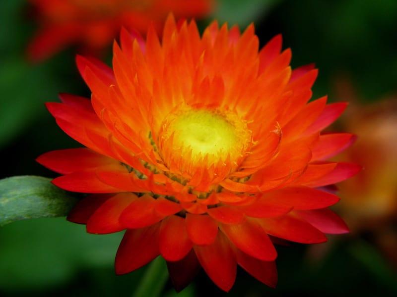 8 Straw Flower