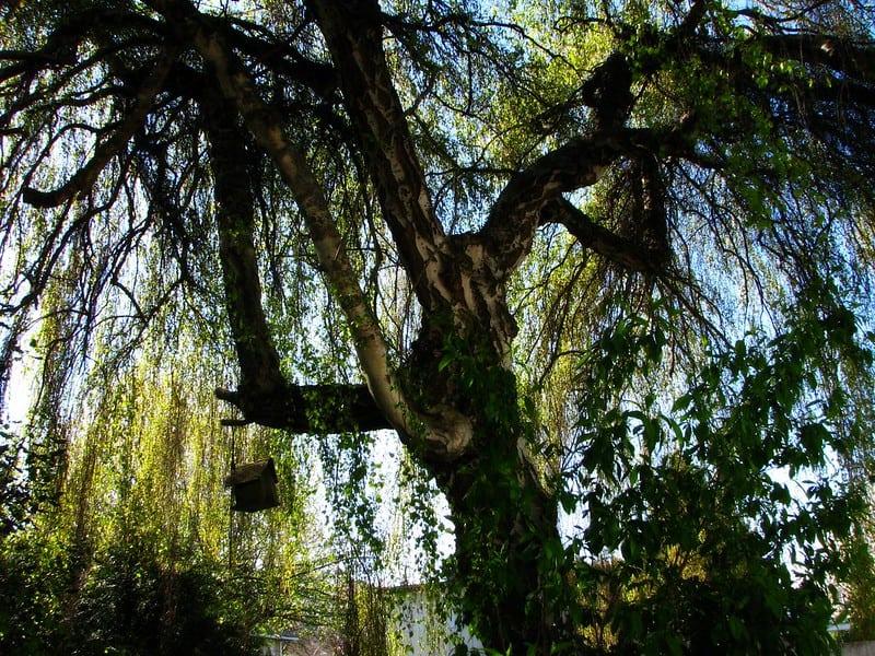 8 Weeping Birch