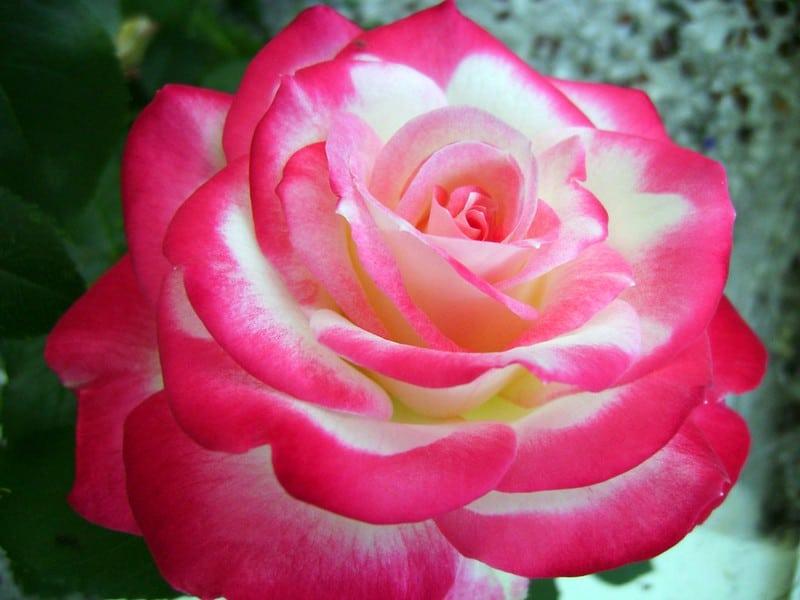 9 Cherry Parfait Rose