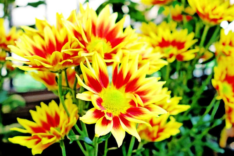 9 Chrysanthemum Daisy