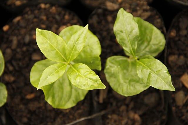 9 Coffee seedlings need careful care
