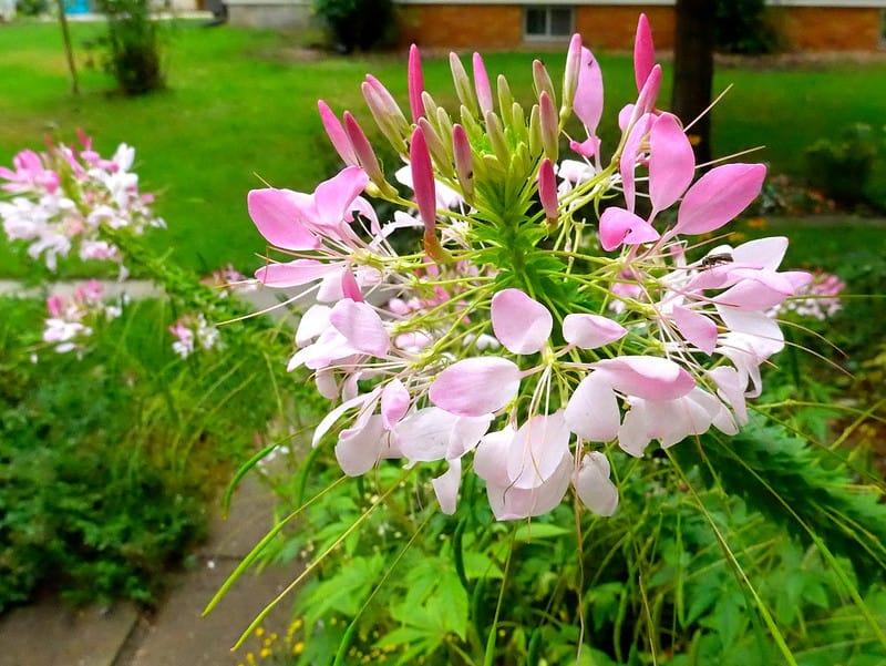 9 Spider Flowers