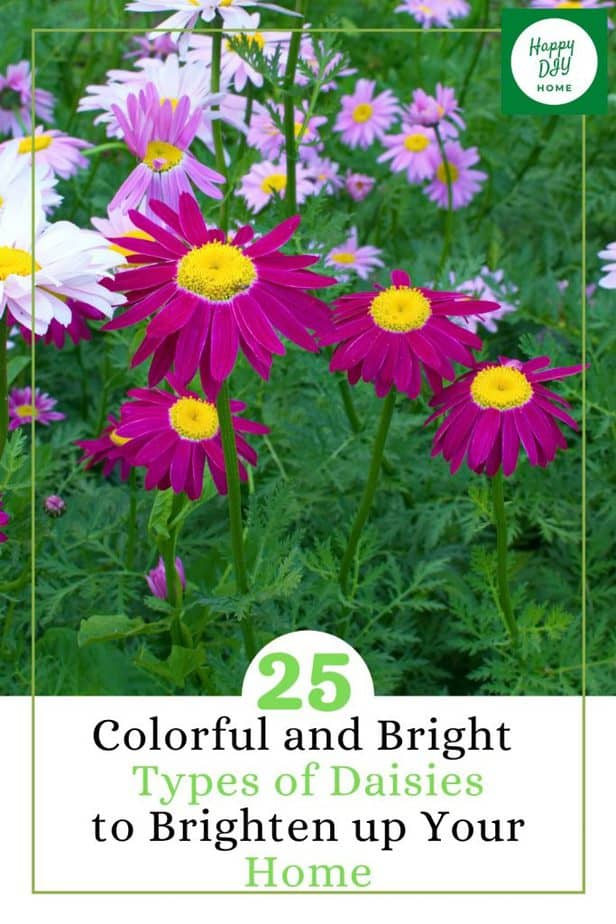 Colorful and Bright Types of Daisies 1