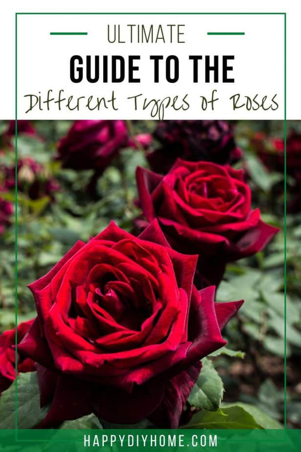 Different Types of Roses 1