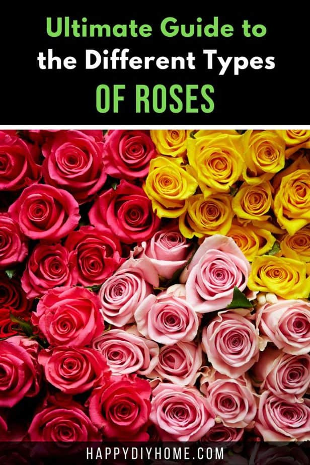 Different Types of Roses 2