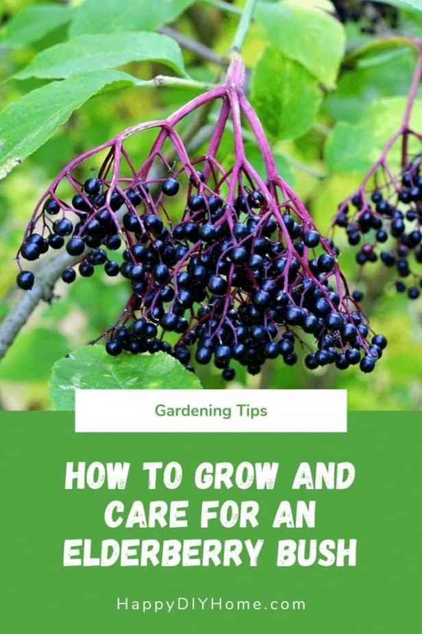 How to Grow and Care for an Elderberry Bush