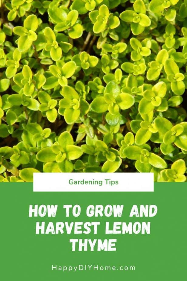 How to Grow and Harvest Lemon Thyme