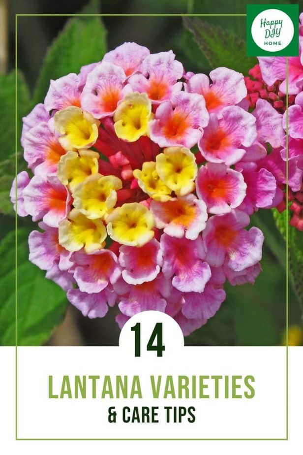 Lantana Varieties 1