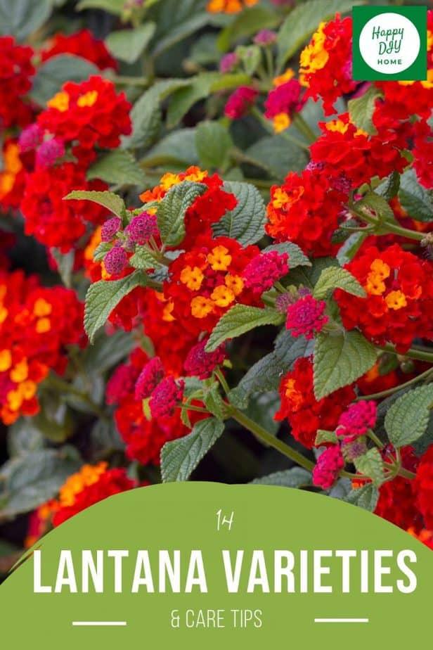 Lantana Varieties 2