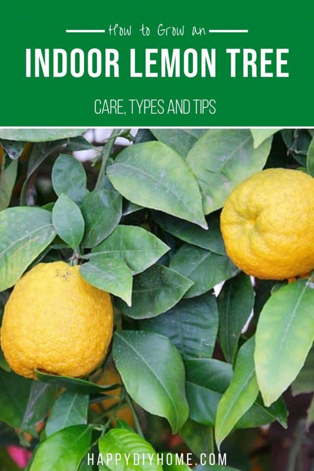 Lemon Tree 2