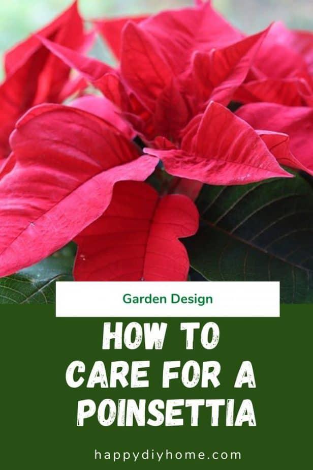 Poinsettia Care 1