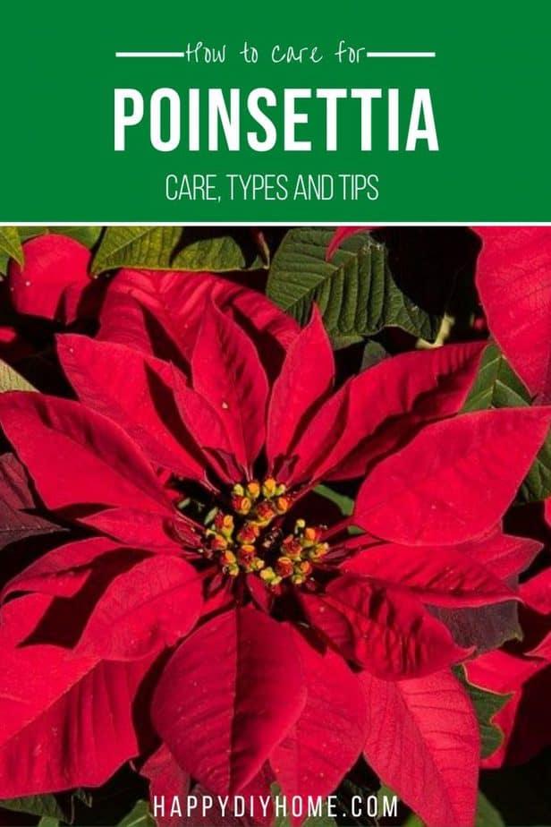 Poinsettia Care 2