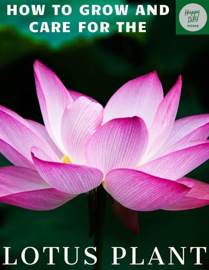 lotus plant care