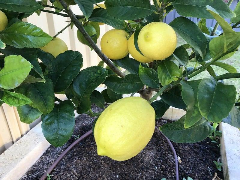 1 Eureka Lemons