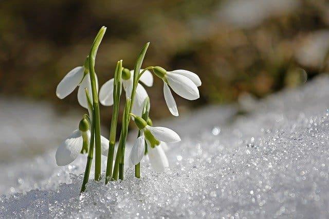 1 Galanthus snowdrops