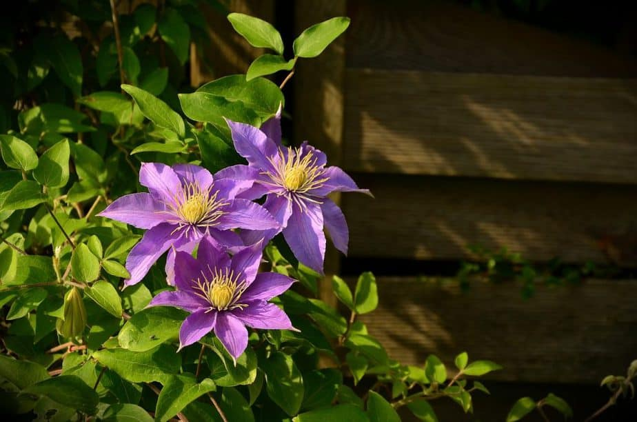 1 Purple Clematis