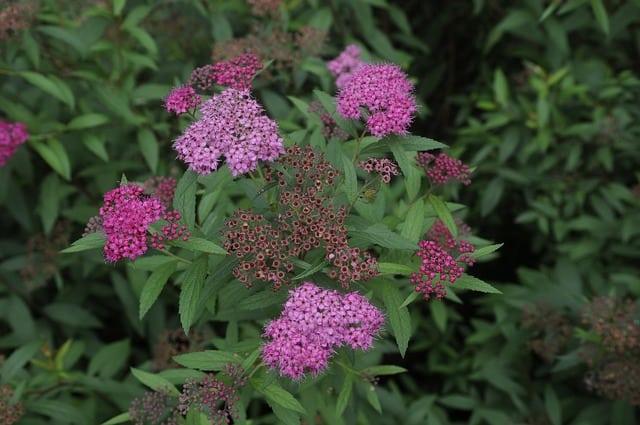 1 Spirea Plant
