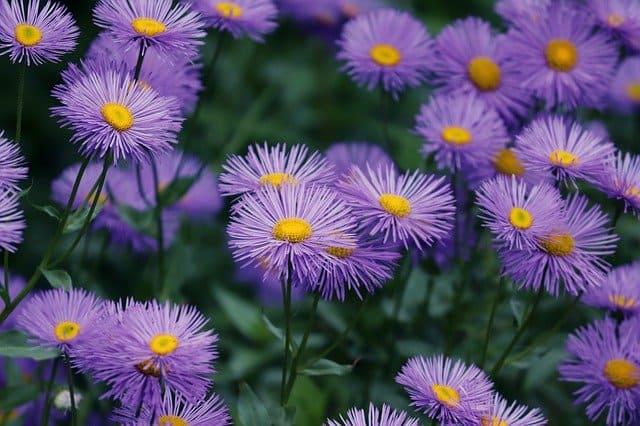1 The distinctive aster flower