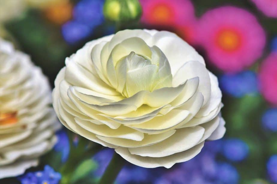 1 White Ranunculus